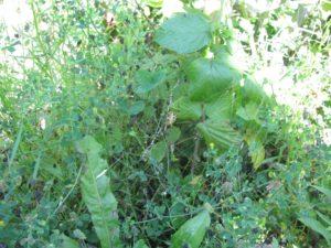 Křižák pruhovaný (Argiope bruennichi) - pavučina - foto Josef