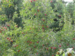 Vršek koruny naší jabloně