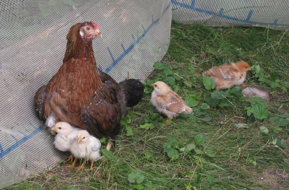 Produkce kuřat v Pivkově 3.0 - foto Josef Mareyi