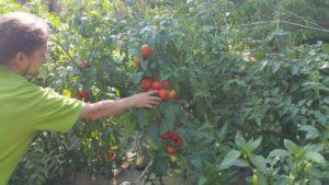 Sklizeň rajčat