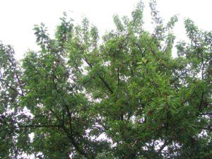 Vršek koruny naší třešně - foto Josef Mareyi