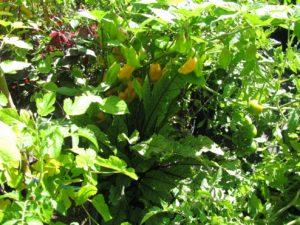 Květináčový chov: Habanero Yellow, Šťovík krvavý, Šťavel purpurový a v předu vlevo vykukuje Moruše bílá - foto Josef Mareyi