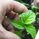 Capsicum baccatum - zvonečky - sadba