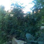 Zvlčená rajčata v pochozí skalce Nil