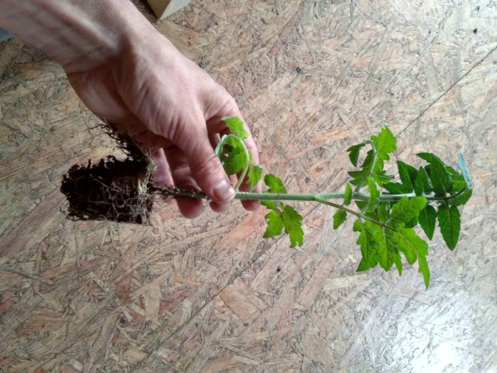 Keřovité odrůdy jsou obecně bytelnější