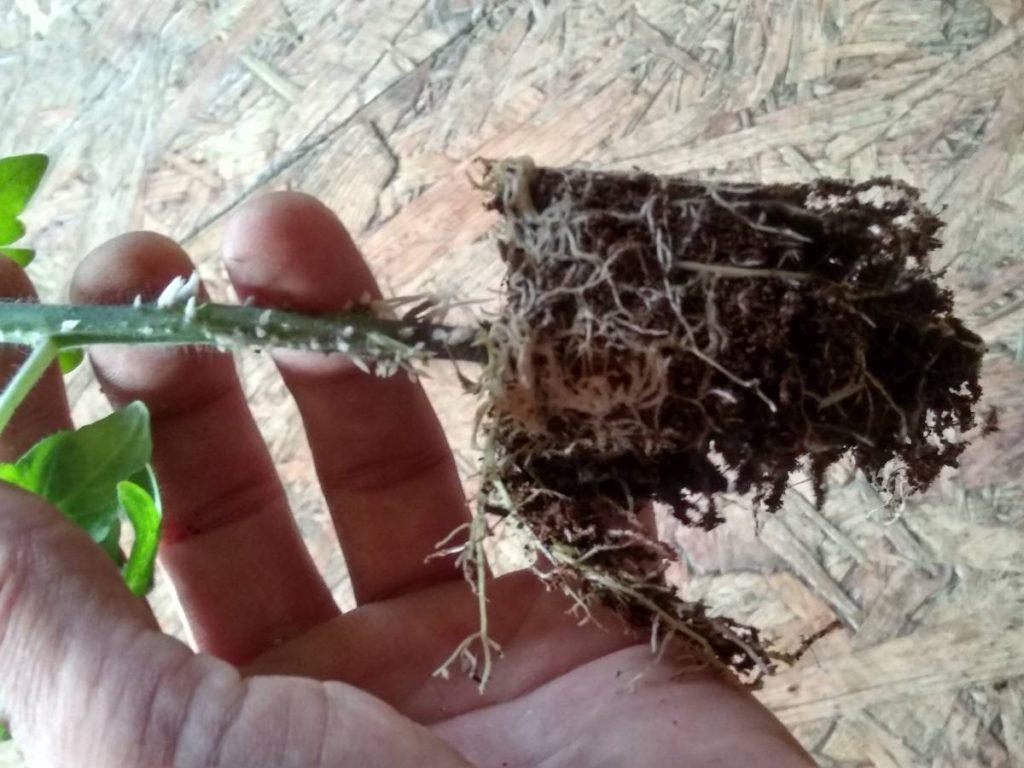 Kořenový bal - kokosový substrát